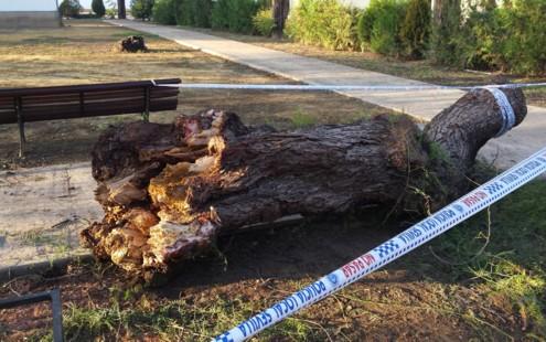 Caída de árbol de gran tamaño Barriada de Tablada