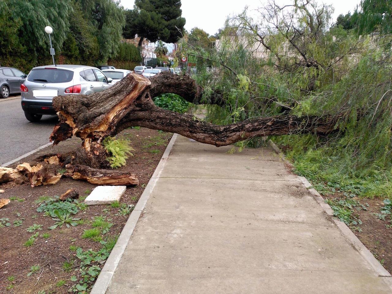 Caída de árbol en la puerta del Colegio Vara de Rey - Tablada