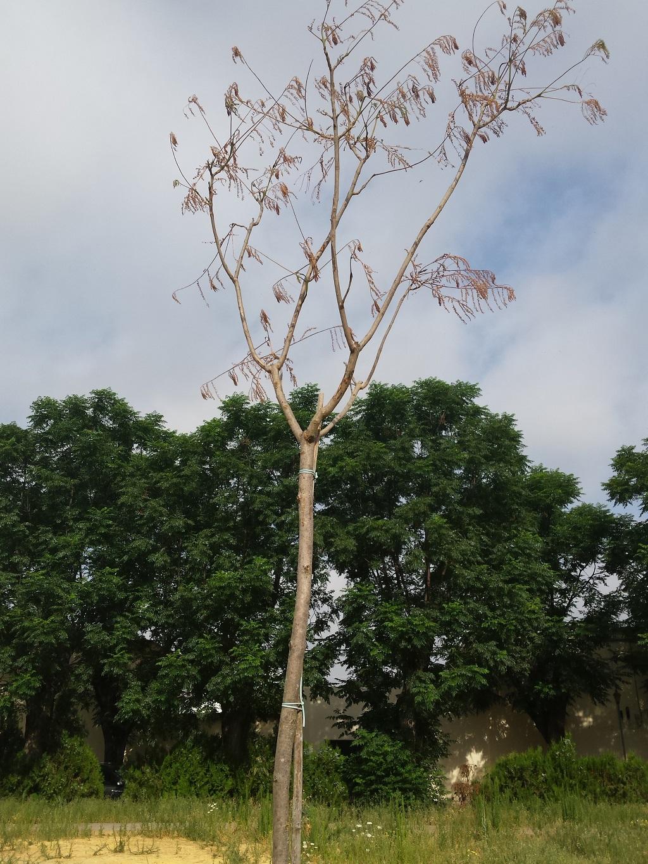 árboles secos en Barriada de Tablada a las 3 semanas de ser plantados